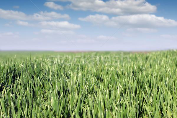 Yeşil buğday çiy damla mavi gökyüzü manzara Stok fotoğraf © goce
