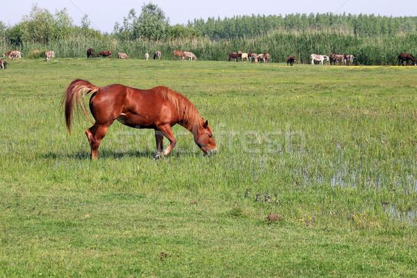 brown horse on green field summer season Stock photo © goce