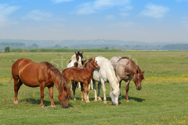 horses and foal in pasture Stock photo © goce