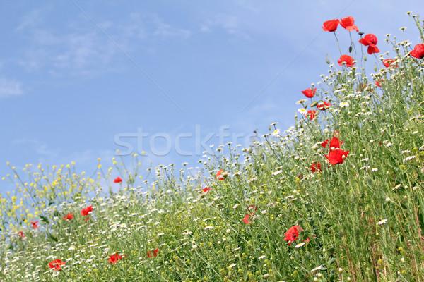 Prado flores silvestres paisagem céu natureza verão Foto stock © goce