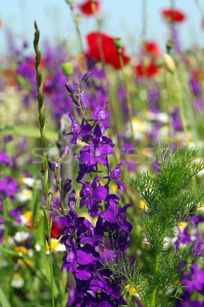 Flores silvestres pradera primavera temporada flor verano Foto stock © goce