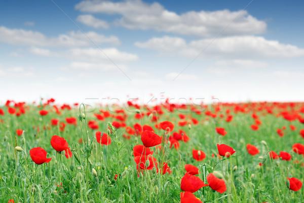 red poppy flowers meadow landscape Stock photo © goce