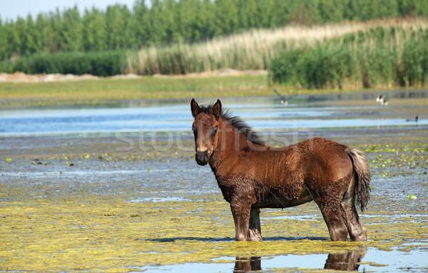 Kahverengi tay ayakta su doğa at Stok fotoğraf © goce