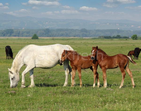 White horse коричневый пастбище природы лошади фермы Сток-фото © goce