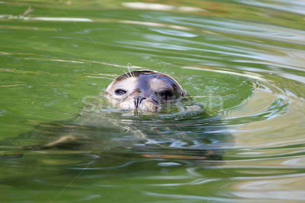 seal in water wildlife scene Stock photo © goce