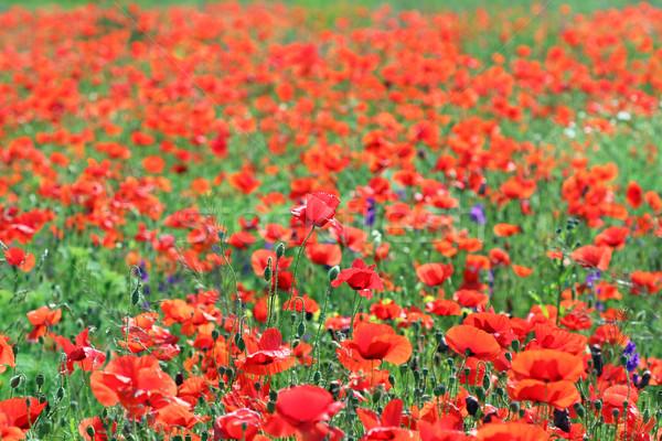 Natureza flor paisagem verão Foto stock © goce