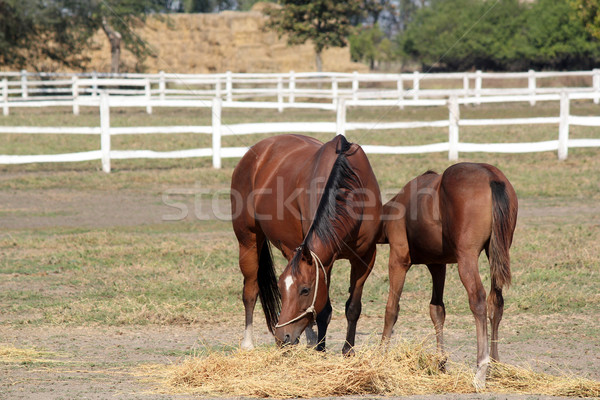 Stock photo: horse and foal in corral farm scene