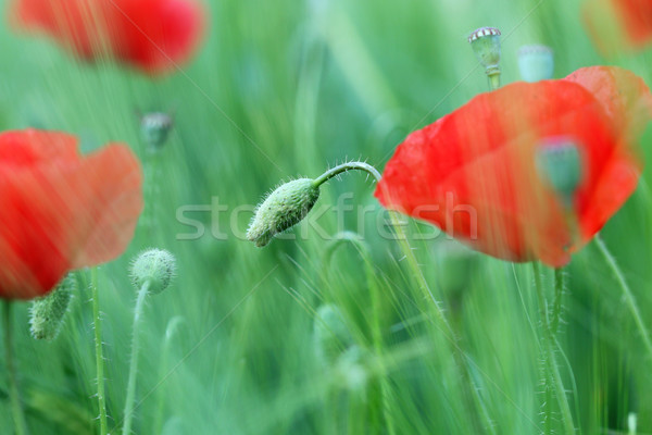 poppies flower meadow closeup summer season Stock photo © goce