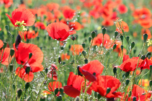 poppies flower field nature background spring Stock photo © goce