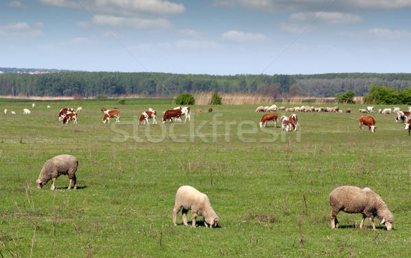 Farm állatok testtartás természet kék farm birka Stock fotó © goce