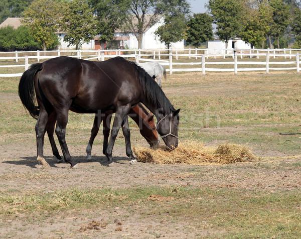 фермы лошадей еды сено природы лошади Сток-фото © goce