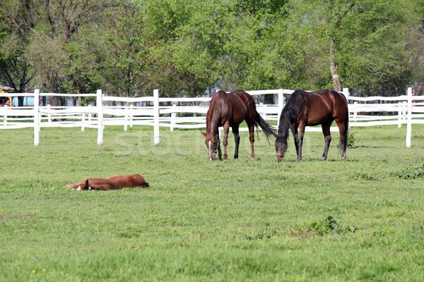 horses grazing in corral farm scene Stock photo © goce