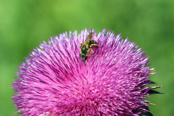 bee on flower spring season Stock photo © goce