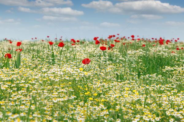 Flores silvestres campo paisaje primavera naturaleza verano Foto stock © goce