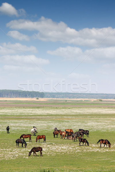 herd of horses on field rural landscape Stock photo © goce