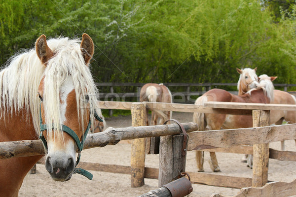 farm scene with horses in coral Stock photo © goce