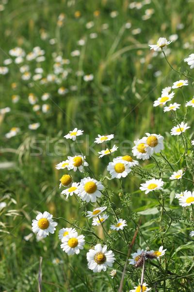 Camomila flores silvestres prado primavera temporada natureza Foto stock © goce