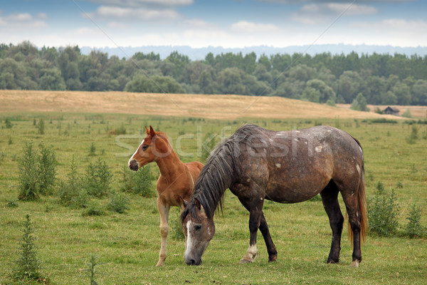 horse and foal on pasture Stock photo © goce