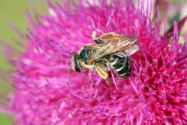 Stock foto: Biene · Blume · Natur · Sommer · grünen
