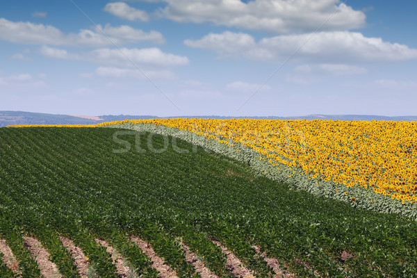 soybean and sunflower field agriculture summer season Stock photo © goce