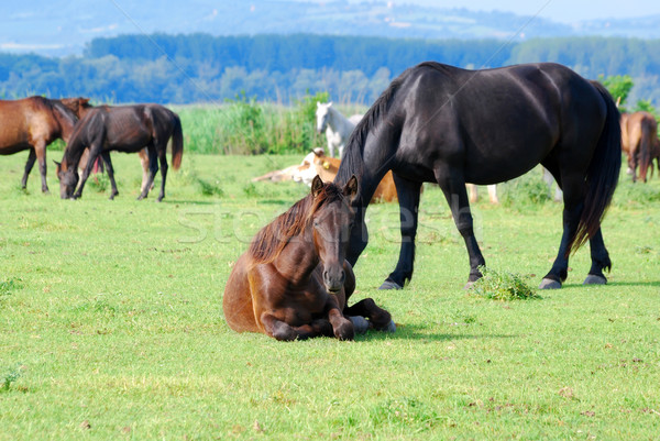 horse lying in pasture Stock photo © goce