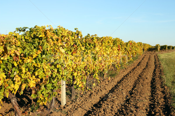 Vineyard with colorful leaves autumn season landscape Stock photo © goce