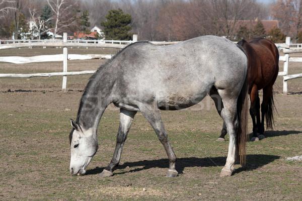 gray horse in corral Stock photo © goce