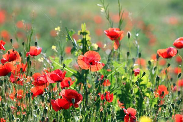 Papoula flores campo primavera temporada paisagem Foto stock © goce
