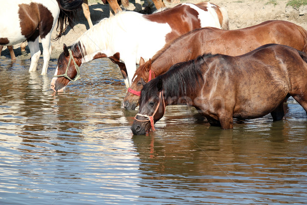 horses drink water nature scene Stock photo © goce