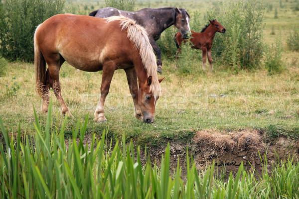 Atlar tay doğa yaz yeşil Stok fotoğraf © goce