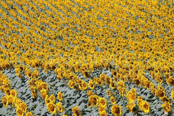 Napraforgó mező természet nyár évszak zöld Stock fotó © goce