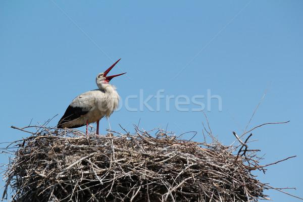 white stork standing in nest Stock photo © goce
