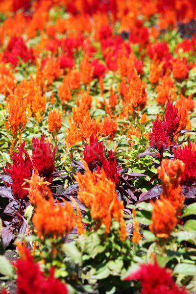 Virágoskert természet tavasz virágok tavasz kert Stock fotó © goce