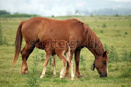 Stock photo: brown foal breastfeeding in the field