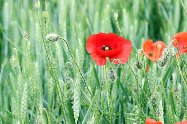 red poppy flower nature spring season Stock photo © goce