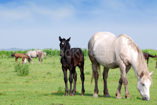 white horse and black foal on pasture Stock photo © goce