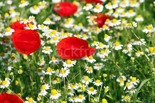 Amapola manzanilla flores silvestres primavera temporada naturaleza Foto stock © goce