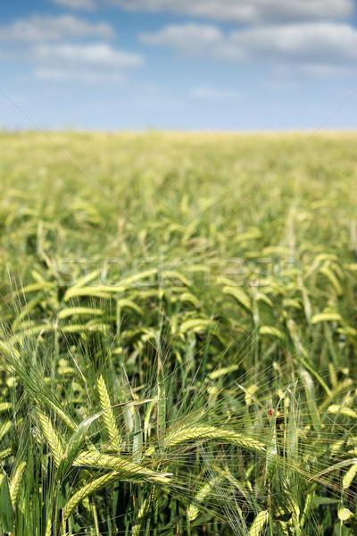 Zielone jęczmień dziedzinie wiosną sezon charakter Zdjęcia stock © goce