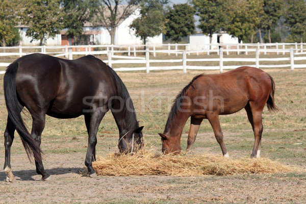 black horse and foal eat hay Stock photo © goce