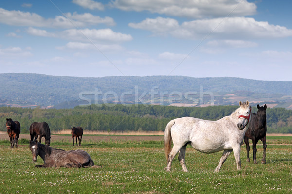 herd of horses on pasture Stock photo © goce