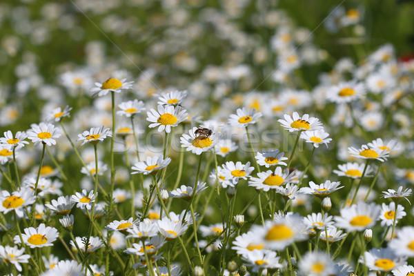 Pszczoła rumianek kwiat wiosną sezon charakter Zdjęcia stock © goce