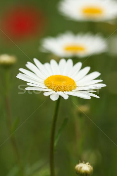 Rumianek dziki kwiat wiosną sezon ogród tle Zdjęcia stock © goce