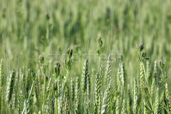 Zöld búzamező tavasz évszak tájkép háttér Stock fotó © goce