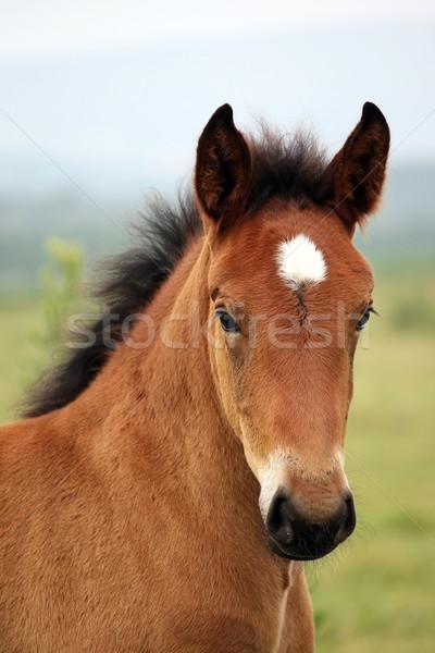 Kahverengi tay portre bebek at yaz Stok fotoğraf © goce