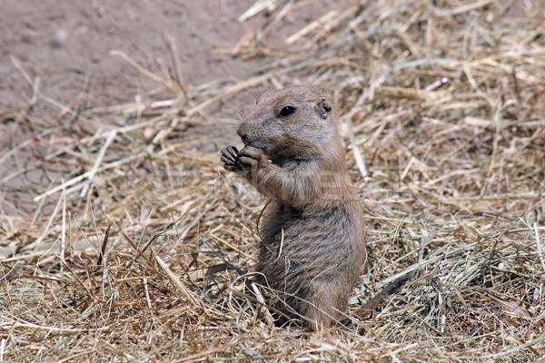 Prairie hond voedsel wildlife honden horloge Stockfoto © goce
