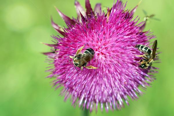 Stock foto: Bienen · Blume · Frühling · Jahreszeit · Natur
