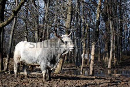 herd of Podolian cows with big horns Stock photo © goce