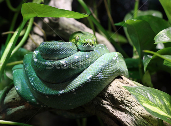 green snake on branch in jungle Stock photo © goce