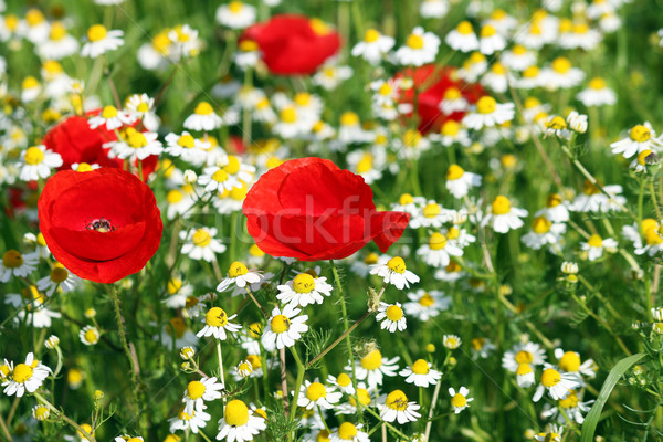 Stock photo: poppy and chamomile flowers spring season
