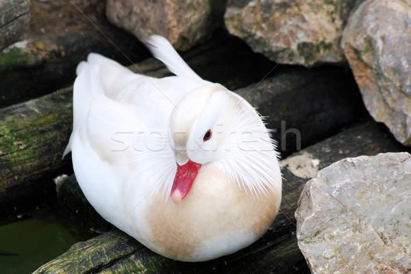 Mandarijn- eend vogel dier Stockfoto © goce